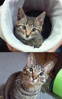 キジトラ猫ちゃん飼ってる方に質問です。 うちのキジトラ君(2歳)、小さいときは鼻の色が黒でしたが今はピンクです。 みなさんのキジトラ猫ちゃんも変わりましたか???