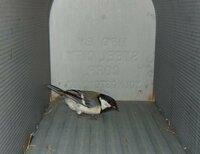 この野鳥の名前を教えてください。 北海道道東地方です。