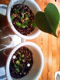 モンステラの茎伏せをしているのですが、この左右の鉢でなぜか右側の方だけ成長が止まってしまったように思えます。環境や水やりなどはいつもとなりに置いていたので同じです。成長させる方法を教えて下さい。