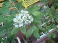 ブルーベリーに虫の予防スプレー。「すずめ」は大丈夫? ブルーベリーを育てています。他にも多数の植物があり虫が苦手なので、ブルーベリーに も虫の予防スプレーが付着してるかもしれません。(ブルーベリーはあまり虫が付かないと聞き、直接散布はしていません。) よく庭に「すずめ」が遊びに来ます。特に鳥の対策はまだしていませんが、もし色付き始めて散布された実を「すずめ」が食べてしまっても大丈夫でしょうか