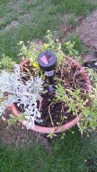 鉢植えの花達が画像のようになってしまいました。 復活させるにはどのように施せば良いですか?