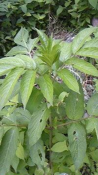 この植物の名前を教えてください!庭に生える背の高い雑草です。 ここ数年、毎年春先に芽を出し、急速に成長する雑草に困っています。見た目はセンダングサに似ていますがもっともっと巨大で、秋になると小さくて赤い実をつけます。根が長く、まるで竹のように一本の根から複数の芽を出します。抜いても地下茎を取りきれない事が多く、次々芽を出し、かなりイライラさせられています。成長スピードは驚異的に早く、数日で数...