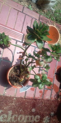 「カランコエ」間延びしまくりです。2年程前に無料で配られていた苗で室内で半年以上は花を咲かせ続けていました。 その後は、ほったからかして いましたが、今年の春から外で日に当てていたら、とっても元気そうなので今年は花を咲かせたいと思い「植え替え」「短日処理」にチャレンジしようかと考えています。 良い丈に切り戻すとなると…葉が無くなりそうです。上部の元気な部分も、もったいないような…ヤサシイエン...