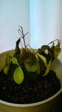サカキの植替えをしたら元気がなくなってしまいました。長文です。 3~4月頃から、室内で育てている鉢植えのサカキの葉先が萎びて枯れてきたため、色々調べて原因は根詰まりとアタリをつけました。  6月の初旬...
