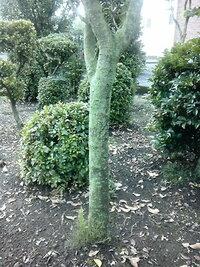 庭木の幹が苔生してしまったようです。 サザンカ・サクラ・カエデ・グミ・ツツジ、あらゆる庭木の幹に緑色の付着物が付きました。たぶん苔(コケ)だと思います。庭木周辺の除草に「グリホサート除草剤 」を使っています。この除草剤を使うと苔生すという話を聞いたことがありますが原因なのか不明です。  ●やはり苔でしょうか?除草剤が原因でしょうか?  ●この状態は庭木にとって障害はないのでしょうか?...