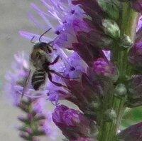 蜂の種類 教えて下さい。 今日写真を撮りました。 添付致します。 お願いします。