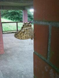 これはある山の頂上にいた珍しい模様の蝶だったので撮ったのですが、もしこの蝶の名前がわかる人いましたら何という名の蝶か教えてください。