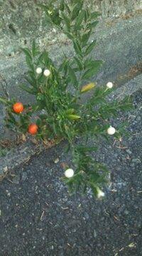 道端で見かけるこの植物 アスファルトの継ぎ目から発生してるこの植物は何と言う名前でしょうか?