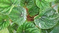 ペペロミヤの葉っぱに白い粉が付いています。病気でしょうか