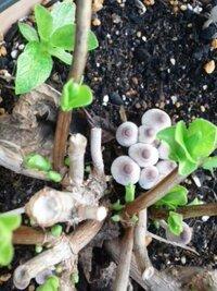 アジサイの鉢植えにキノコが生えてきました。 名前を教えてください。 よろしくお願いします。