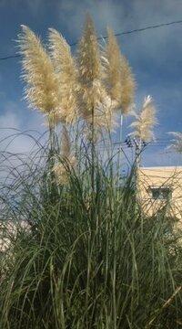 でかいススキのような植物 高さ3mぐらいの大きな穂をつけたような植物を見ました。 これの名前ご存知でしょうか?