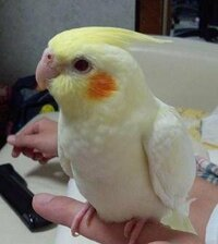 オカメインコの雛換羽の水浴びについて質問致します。 生後5ヶ月のルチノーで、先月から初めての換羽が始まり、もうかれこれ1ヶ月ぐらい 続いております。今まで、水浴び自体あまりしませんでしたが、最近飲み水(ネクトンbio入り)で 水浴びを初めてしまいました。先日、爪切りの為病院に連れて行ったのですが、先生に換羽中の水浴びは しても良いのか質問した所、新しい羽にはまだあぶらも付いてないので、...