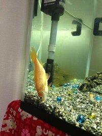 至急お願いします!金魚が死にそうです。。 以前から数回にわたり投稿させてもらっている者です。 前回の投稿内容↓ http://detail.chiebukuro.yahoo.co.jp/qa/question_detail/q1096699255  60センチ水槽で...