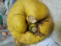 謎の果実について 先日、身内が犬の散歩に行った山で見つけた果実(画像)です。 形状では植物図鑑等で探せず、謎のままです。 植物等に詳しい方この果実の正体を教えて下さい。 <果実の特徴> ●梨を巨大にしたような黄色の果実 ●山で数個転がっていた(別の身内は木かツルらしきものに似たものが生っていたのを見たとのこと) ●匂いは桃が熟しきった様な甘い匂い(けっこう強烈) ●母が少し切り...
