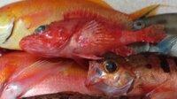 この魚の名前は何でしょうか。画像中央部の魚です。 東京湾の入口あたりで水深70-100m程度、一昨年の2月頃に釣りました。 右下はトゴットメバル、下に見える赤い魚体は、上はシキシマハナダイ、下はアカイサキです。 カサゴの仲間だとは思うのですが、オニカサゴ(イズカサゴ)とは違うし、ユメカサゴでもなさそうです。 大きさは20cm弱だったと思います。  おわかりの方がいましたら、よろしく...