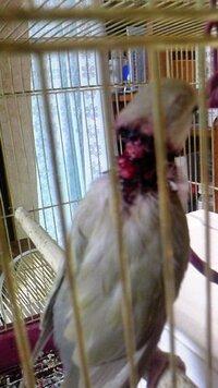 コザクラインコの怪我 気づいたら首の回りが血だらけでした。 鳥小屋の入り口がインコが噛んだせいかギザギザになっていて おそらくそこに引っ掛けてしまったんだと思います。 どなたかすぐにできる最善の処置...