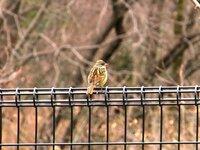 野鳥の名前を教えてください。 今朝、都立桜ヶ丘公園で見かけた鳥です。 大きさは雀より一回り大きいくらいでした。 何という鳥かご存知の方、教えていただけますか?