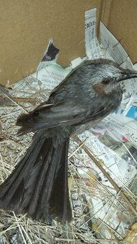野鳥について質問です。写真の鳥の種類を教えてください!足が折れて飛べないし歩けないようです(>_<)  保護して段ボールに藁、お湯をいれた ペットボトル、ミカンと金柑を入れています。  地元の...
