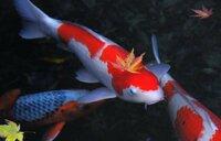 この鯉の種類は何でしょうか。  ちなみに、この鯉が泳いでいる池の季節はいつでしょうか。