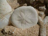 この貝殻の名前をおしえてください。(画像アリ) 花柄の丸いヤツです。 図鑑で調べたのですが見つかりません…。 貝殻じゃないのかも?? よろしくお願いします。