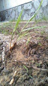 添付画像の雑草は何者なんでしょうか? 竹?ススキ?イネ? 直径1~3cmくらいの地下茎を張り巡らしており、掘り起こして茎根ごと駆除しようと頑張ってます。かなりの強敵です。。。 どなたか教えて下さい!!