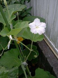 ホームセンターでカボチャの苗を2株買って育ててますが、ひとつが黄色、もうひとつが白い花です。 突然変異でしょうか?