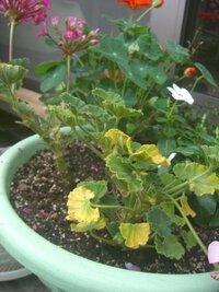 枯れそうなゼラニウムどうしたら良いですか? 植え付けから1カ月程でこの様な状態に・・・ 葉がほとんど黄色く、量も無くなり、花も咲かないので、今はまだ、切っていませんが これから、花を切って、枯れた葉...