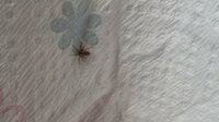 家クモに詳しい方よろしくお願いします。画像は最近よく見かける虫で体長3mmほどです。今朝ペーパータオルに乗せて、おとなしいところを撮影しました。 マンションの通気性が悪いので、この時期になるとダニやチャタテムシに悩まされます。今年は一日中除湿機と扇風機を回して掃除に励んでいるのに、梅雨入り過ぎには窓の桟にチャタテムシを見つけお腹をダニに咬まれた様な痕を発見し、ただいまタンスの虫干しをしており...