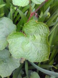 植物の名前を教えて下さい。 蔓性で茎には小さなトゲが有ります。 冬イチゴの一種でしょうか