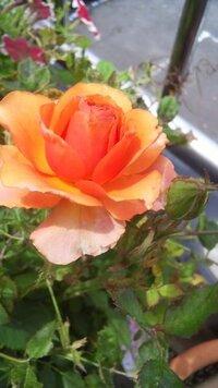 このバラは何という種類ですか? このあいだ花屋さんで名もなく1500円程度で買ったミニバラが、 育って花を咲かせました。 色は濃オレンジで花弁は丸みをおびています。 匂いはありません。 分かる方、お教えてください。