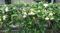 街路樹として植えられていたこの植物の名前はなんなのでしょうか? 白い花からはとても濃い蜜の香りがしてとても気になりました。