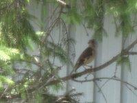 この鳥の名前を教えてください 時 2013年七月15日  場所 札幌市北区の住宅街。。というかマンションの庭  この鳥はなんでしょう?  チチチチというようななきごえでした。  スズメやメジロより大きい  セキレイくらいでしょうか?  二週間前くらいはつがいでマンションの管理等にまよいこんでいました。、カラスに追われて逃げ込んできたらしいです。