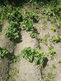 4月の終わりに植えたさつまいもですが、蔓があんまり伸びていません!  発育が悪いと思いますが、何が原因と思われますか?  因みに肥料は芋専用の肥料を少し与えています。水やりは殆どしてません。