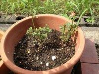 ミニバラの復活方法を教えてください。 20年以上前に買ってもらったミニバラの鉢植えがあるのですが、 一度枯れかけ、挿し木をしてまた育ったものです。 しかしここ数年は一部枯れちしまった枝からひょろひょろ...