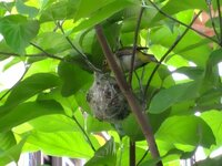 最近お家の庭の木に鳥の巣が出来ているのを発見しました。 最近お家の庭の木に鳥の巣が出来ているのを発見しました。 今、凄くこの巣が毎日気になって仕方がありません。  今は遠くから見てみぬフリをしています。 近くに寄って、そっと触れず巣の中を覗いてみたいのですがダメですか?  今の所、外から見た感じ1羽しか見当たりません。 その1羽は巣の上にたまにいます。親ですかね?  もしそ...
