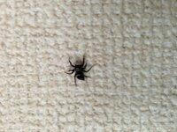 このクモの種類教えてください。   家に居たんですけど無害ですか?  お尻の方に白い線がありました。