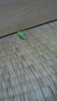 昨夜から、何度も目が覚めるくらいのもの凄い音(ジー・ジー・ジー)と鳴く虫が部屋内にいたらしく、再び今も鳴き始め、ようやく捕獲に成功しまし た。 見た事がない昆虫?なんですが何というのでしょう?緑で羽根...