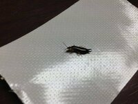 この虫の名前や生息場所などわかる方いますか? 部屋の窓は締め切っていたのでどこからきたのかきになります。