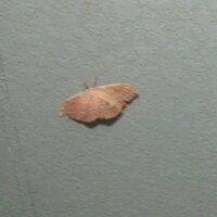 長野県で、この蛾が 家の前にとまってました、  めちゃくちゃでかいんですけど 名前はわかりますか?  この蛾は珍しいですか?