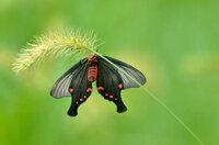 2013年9月7日夕方う 近くの山を車で走っていたら、見慣れない蝶が草にとまっていました。写真を撮り 家に帰って調べてみると ベニモンアゲハに似ていましたが、白い部分がありません。♀♂の違いでしょうか