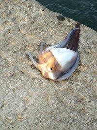 富山湾で釣りをしているとイカが釣れたのですが、種類がわかりません。写真あり 今朝、釣りをしていたら、海面をおよぐタコのようなものがいたので釣り上げたところ、イカでした。 足が8本あり、なにやら体から...