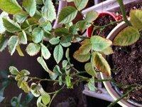 ミニバラ葉が次々と枯れていきます。画像を載せましたので何か対策ありましたらお願いします。 数ヶ月前にミニバラを買ってから悪くなる一方で、 すごく小さい赤い虫が発生したり、 緑の虫が発生したり(今も少しだけいる) 更に現在もコナカイガラムシ(検索してみて多分一致していました)がついていて、小さな鉢のバラですので毎日見つけては取っています。 葉の表裏には白い粉の様なものがチラホラと。 ...
