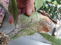 孔雀サボテン、月下美人の病気?虫害?(写真参照) 孔雀サボテンの葉の表面に、ふわふわした粉のようなものがびっしりついてしまいました。 付いたところから葉が茶色く枯れてしまっています。 だんだんと月下美人の葉にも移ってしまいました。。  原因と効果的な対処法がありましたら教えて下さい!