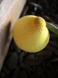 このキノコなんですか? 洋ランを育てています。用土は樹を砕いたバークを使用しています。その用土から写真のような黄色いキノコが出てきました。洋ランは特に変化はありません。このキノコは翌日になると干涸びます。  質問1 このキノコはなんと言うキノコですか? 質問2 毎年春に植え替えして同じ品種の洋ランからこのキノコが出ます。バークにも黄色の菌糸みたいなものが付いています。植え替えしても半年...