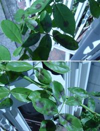 バラのアンジェラですが葉に黒い斑点が出ています。 原因と対処法を教えて頂きたくお願いします。