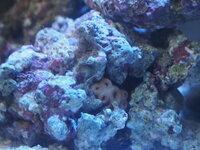 最近アクアリウムを始めようと思い、海水魚用の水槽を立ち上げライブロックを入れたのですがサンゴのようなよくわからない薄いピンクの謎の生き物?が付いてました。これは何でしょうか? 6つある口みたいなもの...