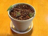 セントポーリアを生き返らせたいです! セントポーリアの苗を植え替えたら、写真の状態になってしまいました。 もう10日ぐらいたちます。 なんとか生き返らせることはできないでしょうか。 どうぞお教えください。