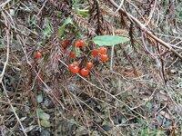 12月23日和歌山県北部の三石山で撮影しました。このなんとなく食べられそうな植物の名前教えて下さいませ。