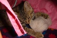猫ちゃんにヌイグルミで遊ばせている(?)方、どのくらいの頻度で洗いますか? 一人遊びのときは蹴りぐるみ、一緒にいるときは投げると銜えて持ってくるのを繰り返して遊んでいます。 お腹に抱えて舐めたりもよくしているようですが、やはり定期的に洗ったほうがいいのでしょうか。あまりヌイグルミを洗ったことがないのですが、通常の洗濯用洗剤での手洗いで大丈夫ですか? 今の子が我が家に来たのが昨年9月半ば過...