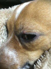 飼っている犬(ジャックラッセルとチワワのMIX犬)の目のまぶたあたりに小さな赤いポチっとした出来物ができていることに今日気付きました。昨日はなかったです。 これって人間でいうものもらい的な物なのでしょ...